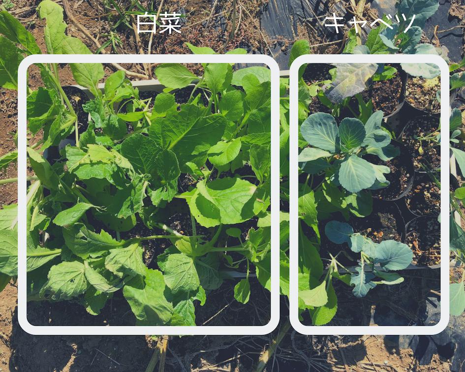 農業体験 vol2 白菜苗植え 01