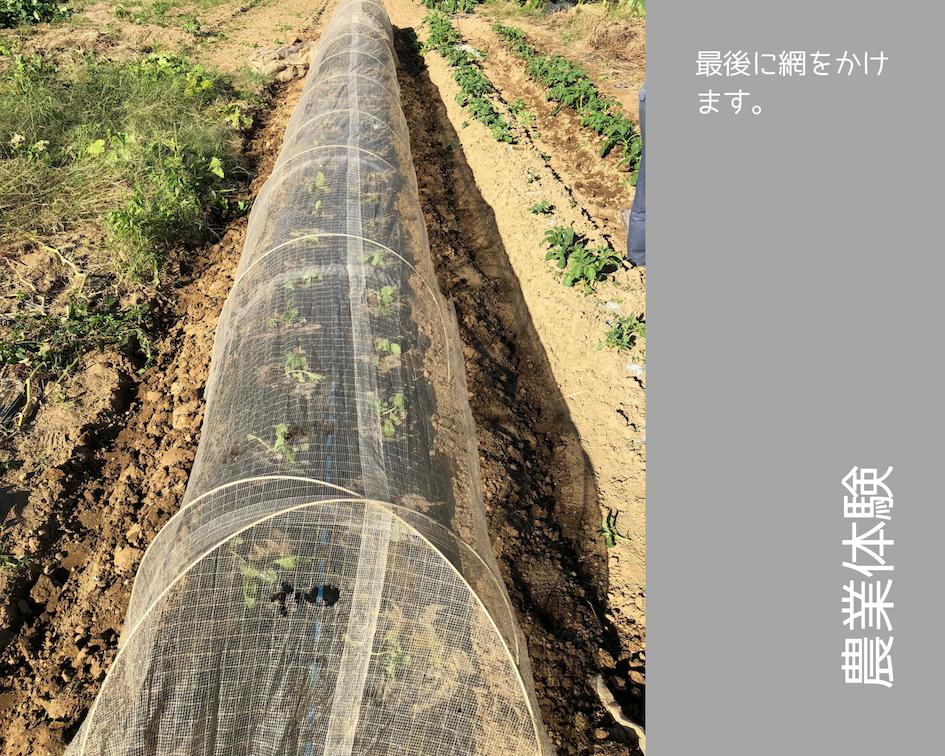 農業体験 vol2 白菜苗植え 12