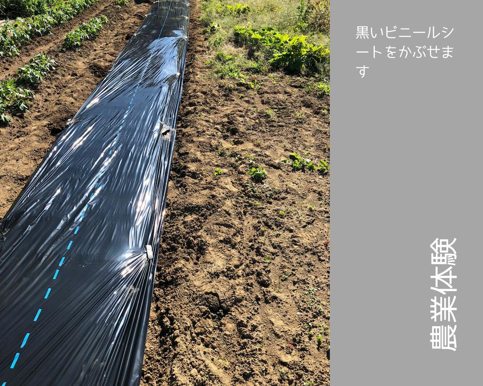 農業体験 vol2 白菜苗植え 06