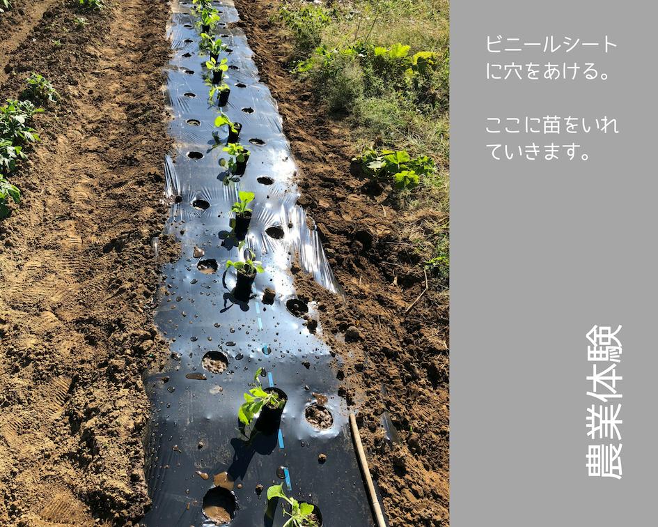 農業体験 vol2 白菜苗植え 08