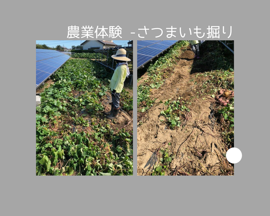 農業体験 さつまいも掘り